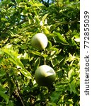 Small photo of Aegle marmelos, commonly known as bael,Bengal quince,golden apple,Japanese bitter orange,stone apple is a species of tree native to India, Nepal, the Andaman and Nicobar Islands and Myanmar.