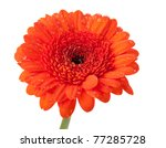 Orange gerbera with water drops. Isolated on white background - stock photo