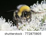 Hairy Bumblebee Is Collecting...