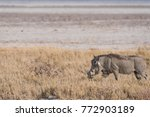 warthog walking through dry... | Shutterstock . vector #772903189