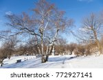 large bare birch tree in early... | Shutterstock . vector #772927141