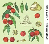 collection of camu camu  branch ...   Shutterstock .eps vector #772955101