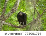 Black Vulture Is Sitting In A...