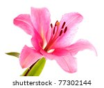 Lily Flower On White Background