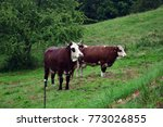 "focus on cows ""abundance"" in a... 