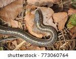 A Garter Snake In A Pile Of...