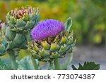 Blossom Of A Globe Artichoke