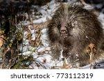 porcupine in wilderness.... | Shutterstock . vector #773112319