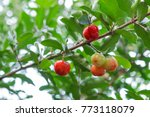 Small photo of Acerola cherry - Acerola small cherry fruit on the tree. Acerola cherry is high vitamin C and antioxidant fruits. Selective focus