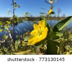 pretty yellow marsh marigold in ... | Shutterstock . vector #773130145