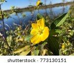 pretty yellow marsh marigold in ... | Shutterstock . vector #773130151