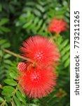 Small photo of Albizia julibrissin flower