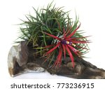 Tillandsia Or Air Plant Which...