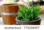 Aloe Vera Plants In Flower Pot...