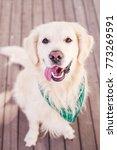 beautiful dog golden retriever...   Shutterstock . vector #773269591