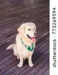beautiful dog golden retriever...   Shutterstock . vector #773269594