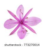 Pink Alpine Willowherb Flower...