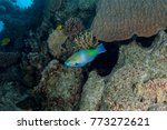 Small photo of Parrotfish, Scaridae, Indo-Pacific