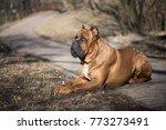 Italian Cane Corso Dog Lie On...