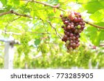 young grape from the green... | Shutterstock . vector #773285905