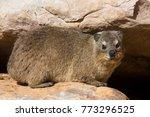 rock hyrax or rock badger ... | Shutterstock . vector #773296525