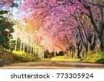 beautiful view big tree of pink ... | Shutterstock . vector #773305924
