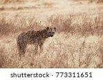 hyena looking in camera  | Shutterstock . vector #773311651