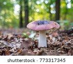 russula atropurpurea  commonly... | Shutterstock . vector #773317345