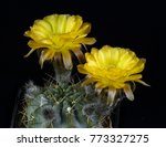 Small photo of Cactus Acanthocalycium glacum Blooming , Isolated on black background