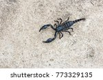 Live Black Scorpion  Emperor...