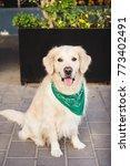 beautiful dog golden retriever...   Shutterstock . vector #773402491