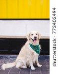 beautiful dog golden retriever...   Shutterstock . vector #773402494