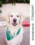 beautiful dog golden retriever...   Shutterstock . vector #773402497