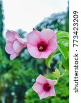 Small photo of close up of purple flower, Allamanda cathartica