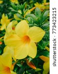 Small photo of close up of yellow flower, Allamanda cathartica