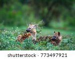 spotted hyena in kruger... | Shutterstock . vector #773497921
