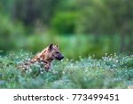 spotted hyena in kruger... | Shutterstock . vector #773499451