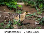 Small photo of Doubled-banded sandgrouse in Kruger national park, South Africa ; Specie Pterocles bicinctus family of Pteroclidae