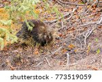 one porcupine in the... | Shutterstock . vector #773519059