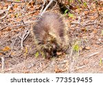 one porcupine in the... | Shutterstock . vector #773519455