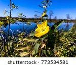 pretty yellow marsh marigold in ... | Shutterstock . vector #773534581