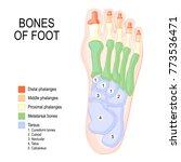 bones of foot. human anatomy.... | Shutterstock .eps vector #773536471