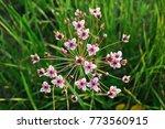 Small photo of Flowering rush or grass rush (Butomus umbellatus)