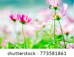 cosmos flowers blooming in the... | Shutterstock . vector #773581861