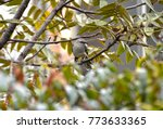Small photo of american redstart posed in a branch among the bushes