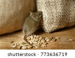 Closeup The Vole Mouse Nibbles...