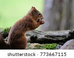 red squirrel eating a nut | Shutterstock . vector #773667115