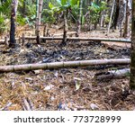 guadua forest after fire | Shutterstock . vector #773728999