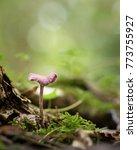 An Amethyst Deceiver Mushroom...