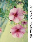 Small photo of Flowers vintage style, Purple Allamanda, Allamanda blanchetii ,Cryptostegia grandiflora